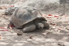 Giant land turtle