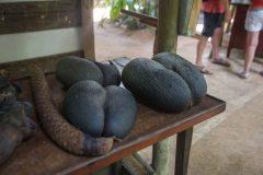 Coco de mer Seeds in Vallee De Mai National Park