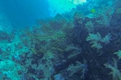 soft-koral